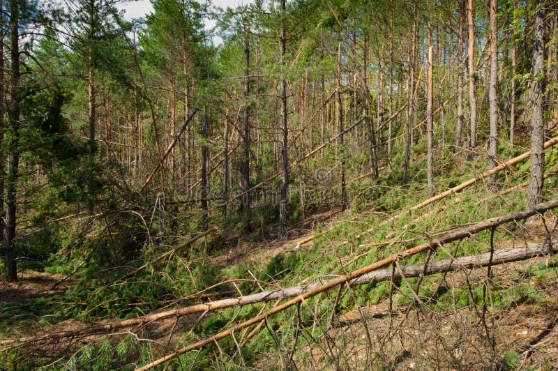 Kiefer frorest zerstört durch Sturm lizenzfreie stockbilder