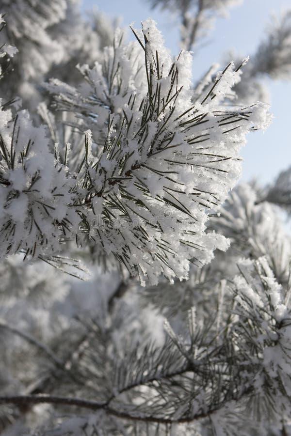 Kiefer im funkelnden Frost stockfoto