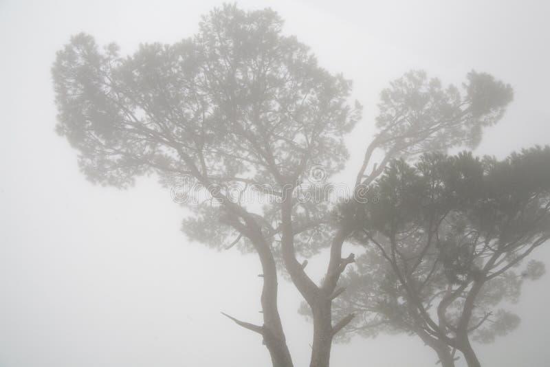 Kiefer im Nebel lizenzfreie stockfotografie