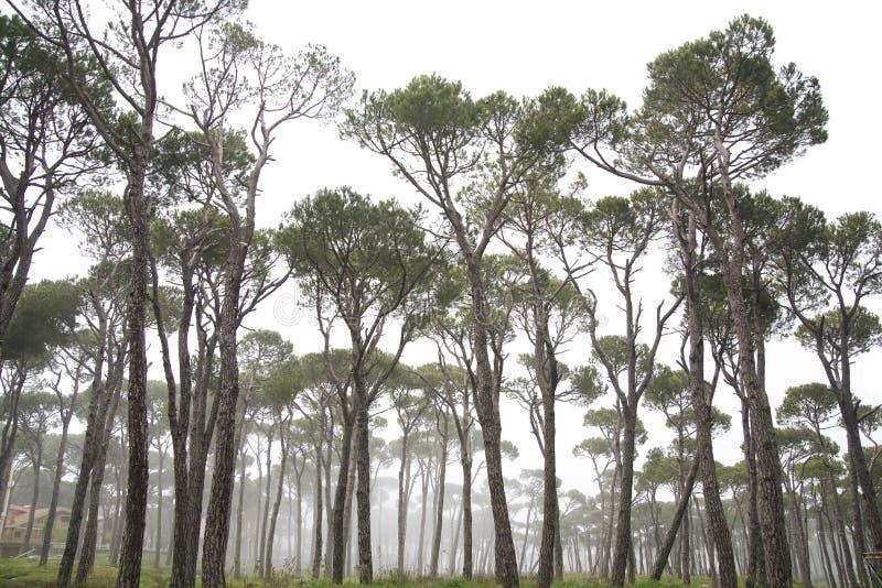 Kiefer im Nebel stockbild