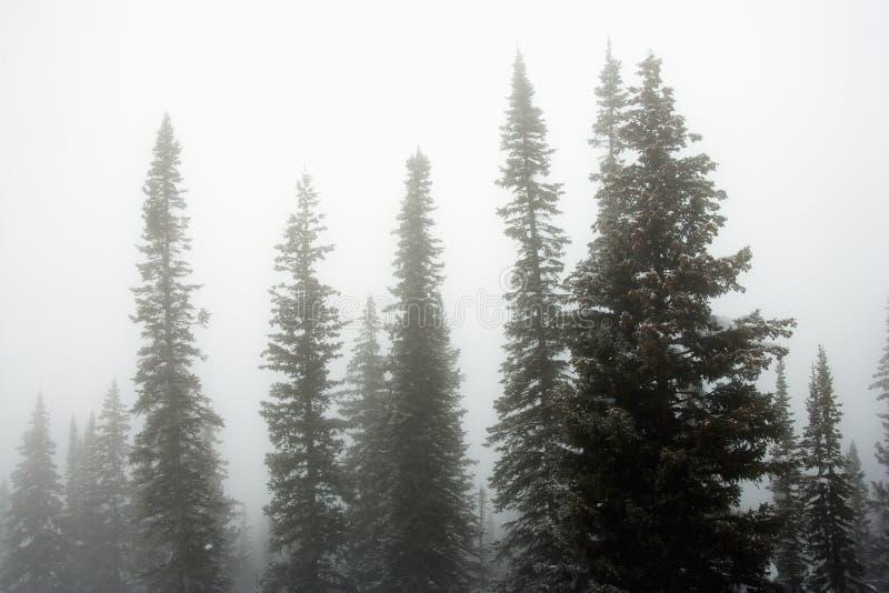 Kiefer im Nebel. lizenzfreie stockbilder
