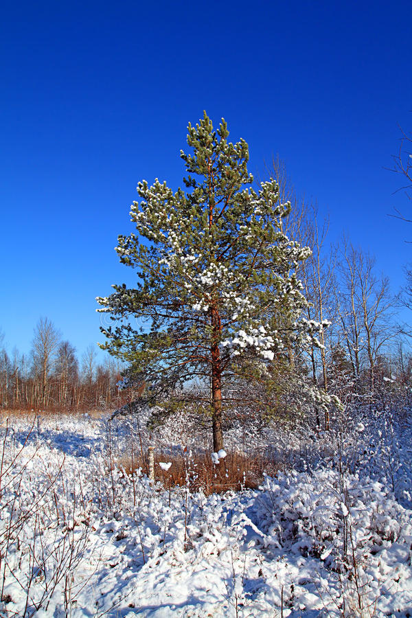 Kiefer im Schnee stockfotografie