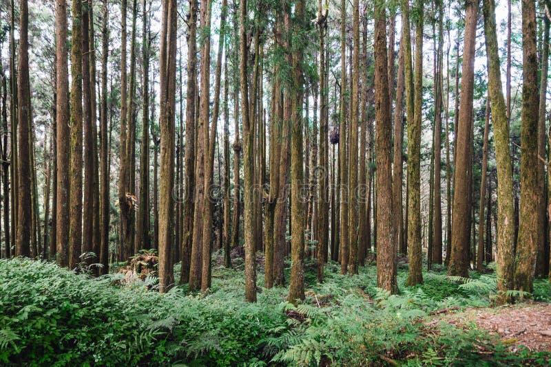Kiefer im Wald in Alishan nationaler Forest Recreation Area in Chiayi County, Alishan-Gemeinde, Taiwan stockbilder
