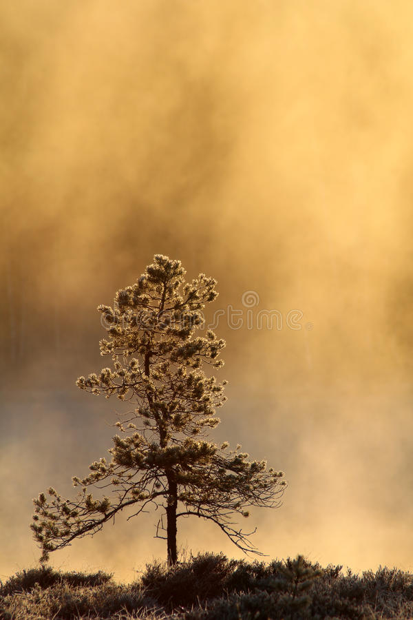 Kiefer am kalten Frühlings-Morgen lizenzfreie stockfotografie