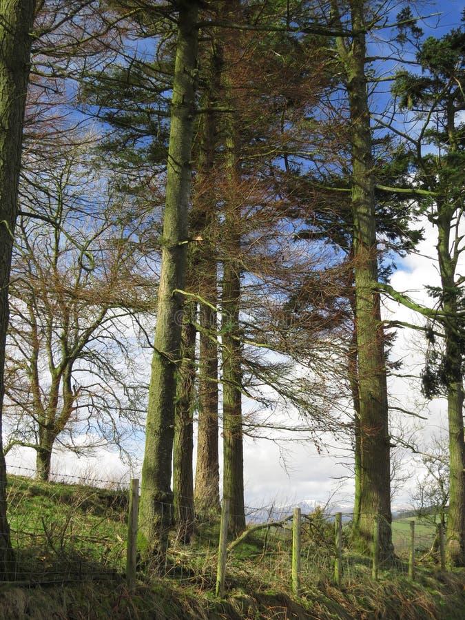 Kiefer, mehrere, hoch und elegant, gruppiert gegen blaue Himmel lizenzfreies stockfoto