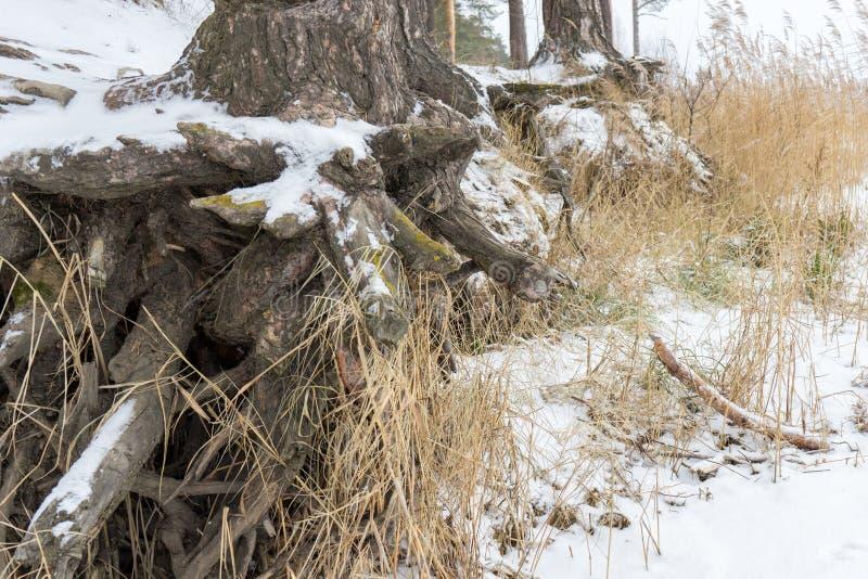 Kiefer mit den knotigen Wurzeln, die auf der Steigung ausgesetzt Bodenerosion wachsen Ökologische Probleme stockfotografie