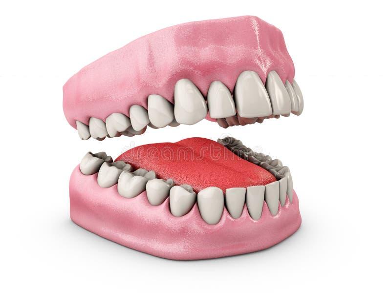 Kiefer mit den Zähnen Zahnheilkunde, Medizinkonzept Getrennt auf weißem Hintergrund Abbildung 3D stock abbildung