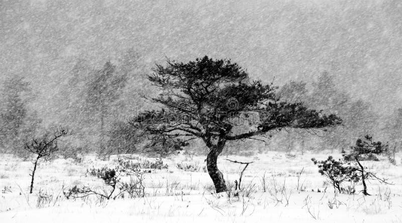 Kiefer, Schneefälle stockbild