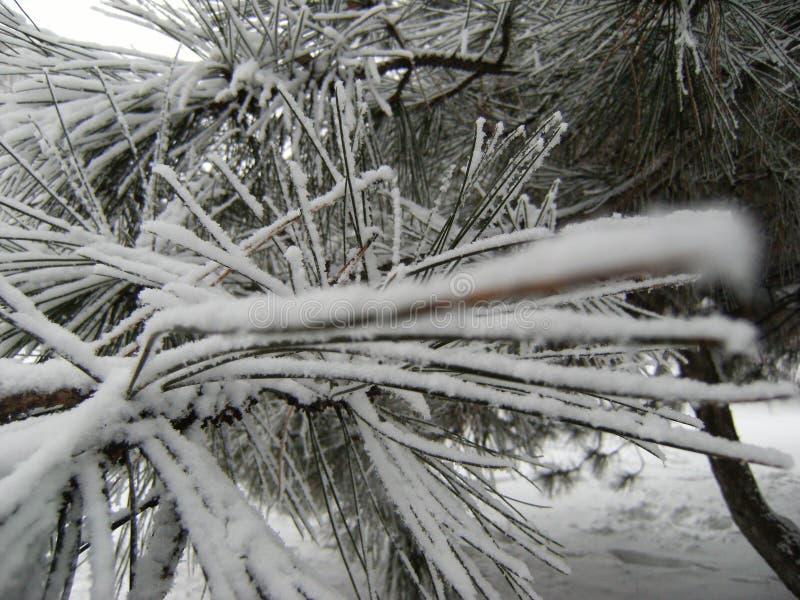 Kiefer Treetop (Luft) 2778 stockbilder