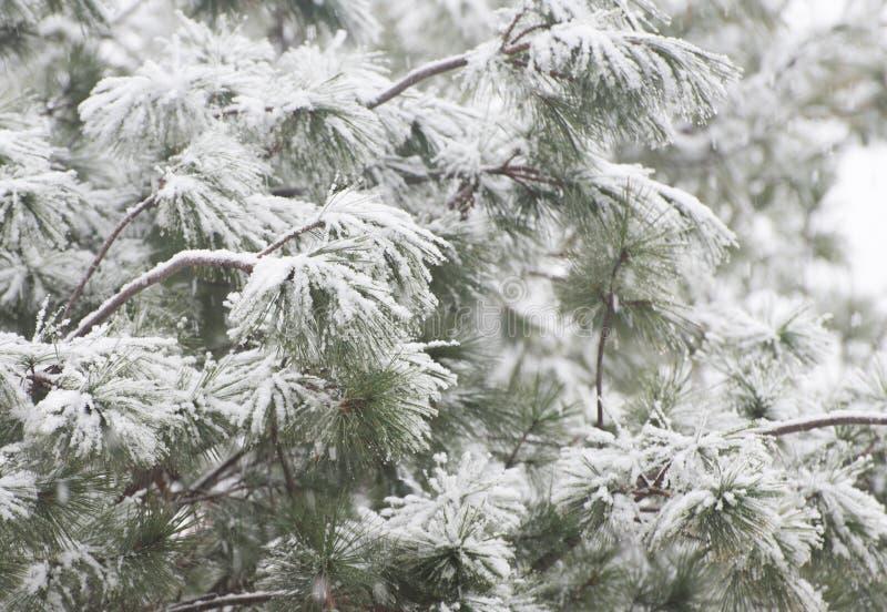 Kiefer unter Schnee stockfotografie