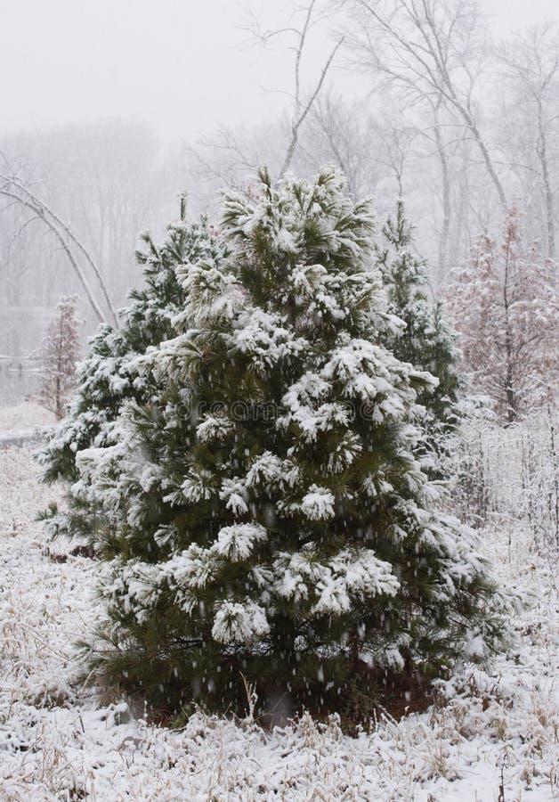 Kiefer unter Schnee stockbilder