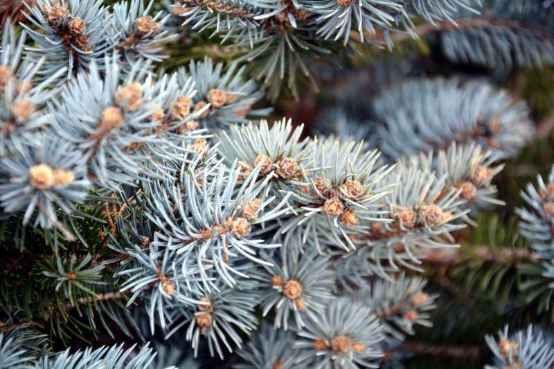 Kiefer verzweigt sich Hintergrund, natürliche Beschaffenheit des Winters stockfotos