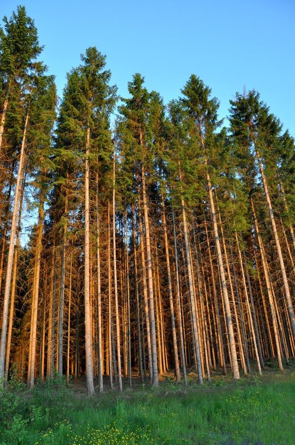 Kiefer-Wald lizenzfreie stockfotografie