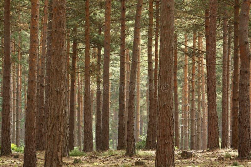 Kiefer-Wald lizenzfreies stockbild