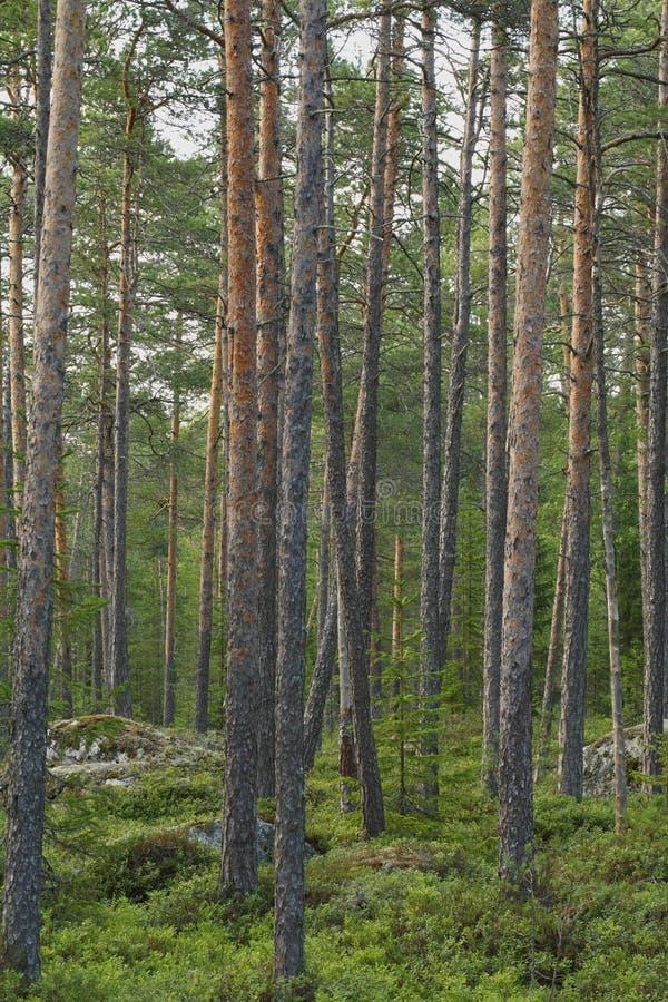 Kiefer-Wald lizenzfreie stockfotos