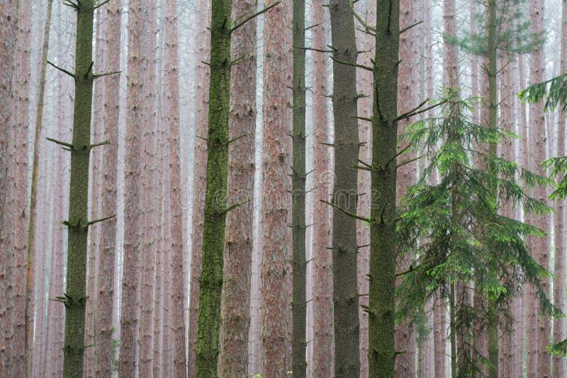 Kiefer-Wald im Nebel lizenzfreies stockbild