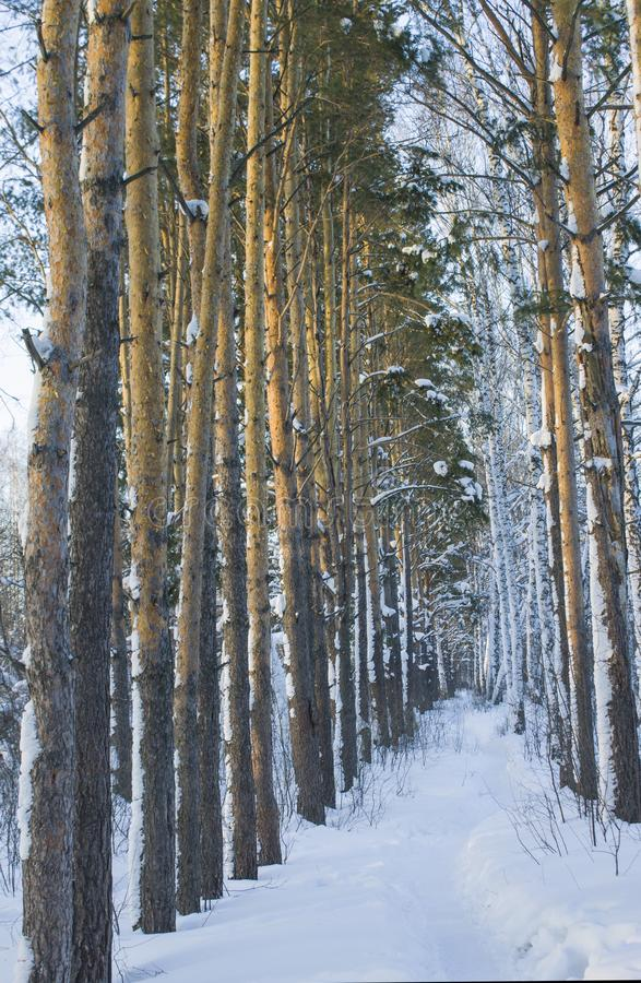 Kiefer-Waldung im Winter stockfotos