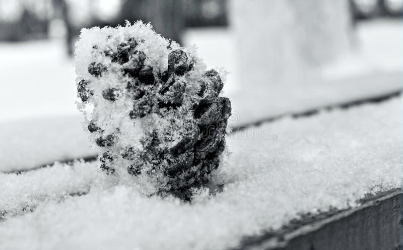 Kieferkegel im Schnee lizenzfreie stockfotos