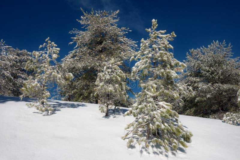 Kiefern-Bäume mit Eiszapfen in Etna Park, Sizilien stockfotografie