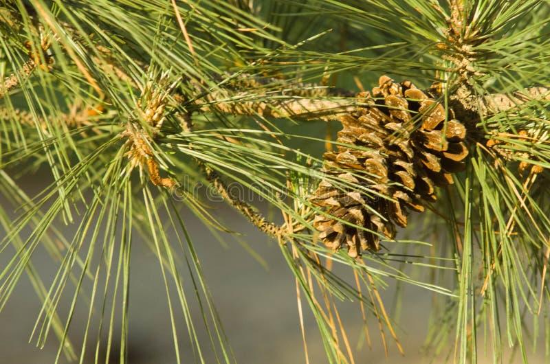 Kiefern-Kegel auf Baum in Arkansas lizenzfreies stockfoto