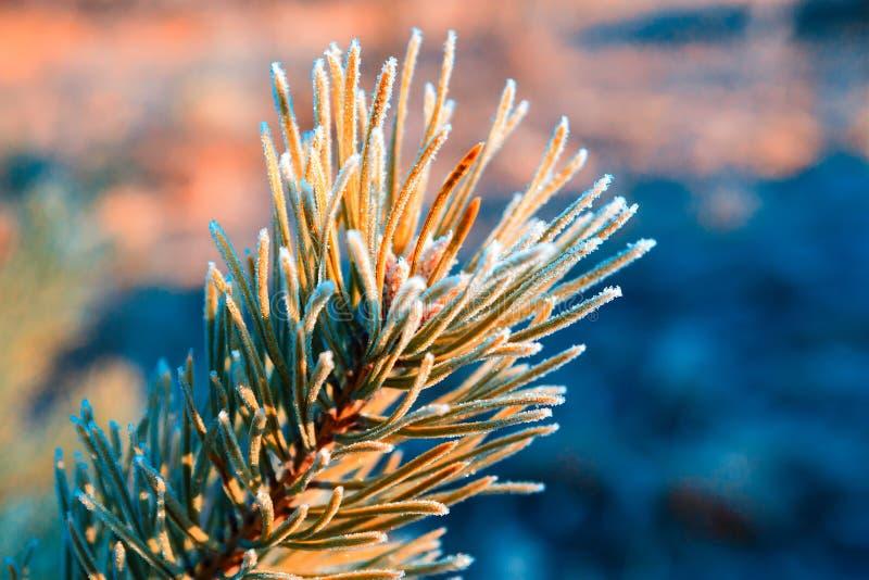 Kiefern-Niederlassung umfasst mit Frost stockbilder