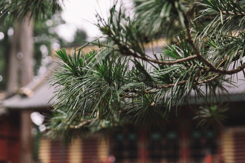 Kiefern-Niederlassungen außerhalb eines japanischen Tempels stockbilder