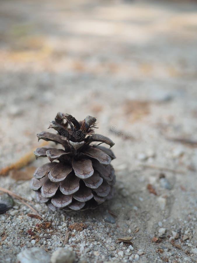 Kiefern-Nuss auf Sand stockfoto