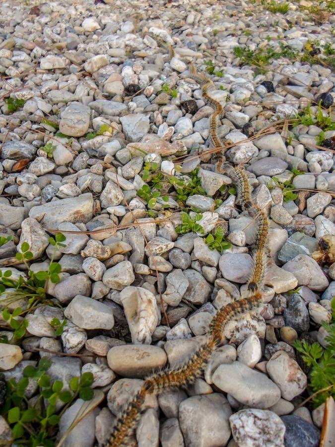 Kiefern-Prozessionsspinner Thaumetopoea-pityocampa stockfotos
