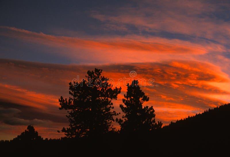 Kiefern am Sonnenuntergang lizenzfreie stockfotos