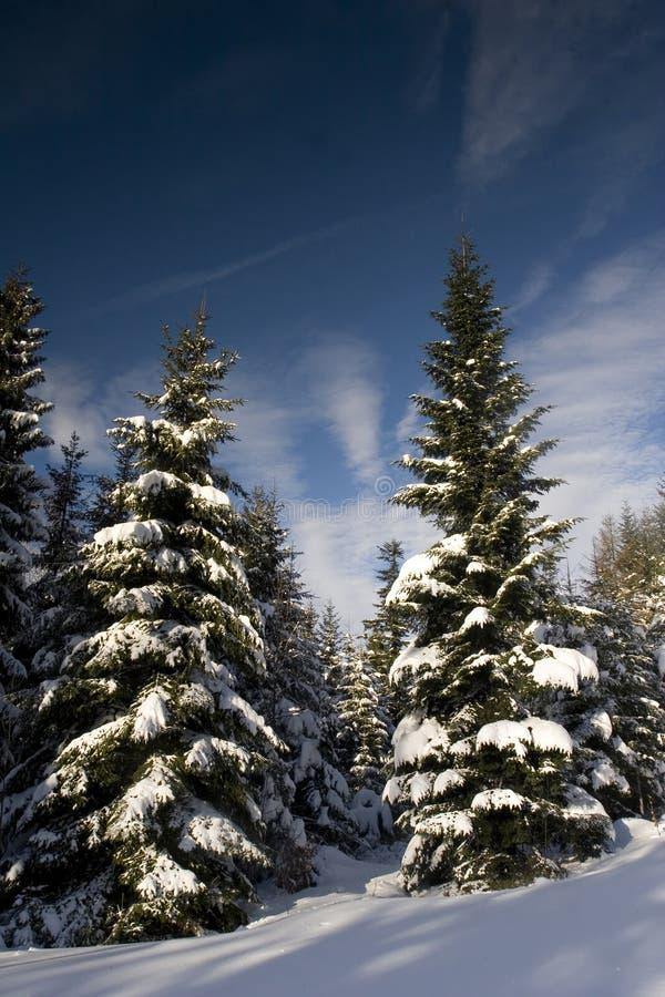 Kiefern unter dem Schnee lizenzfreie stockfotografie