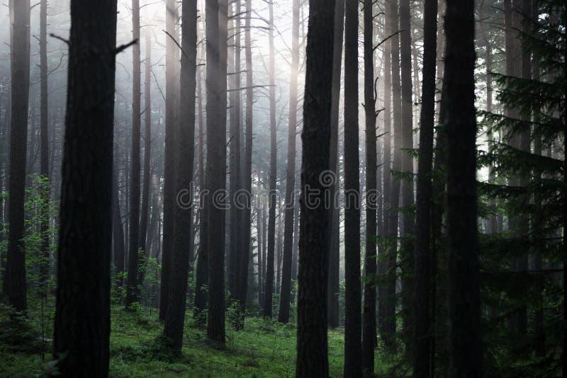 Kiefern-Wald in Litauen mit Morgen-Nebel im Hintergrund lizenzfreie stockfotos