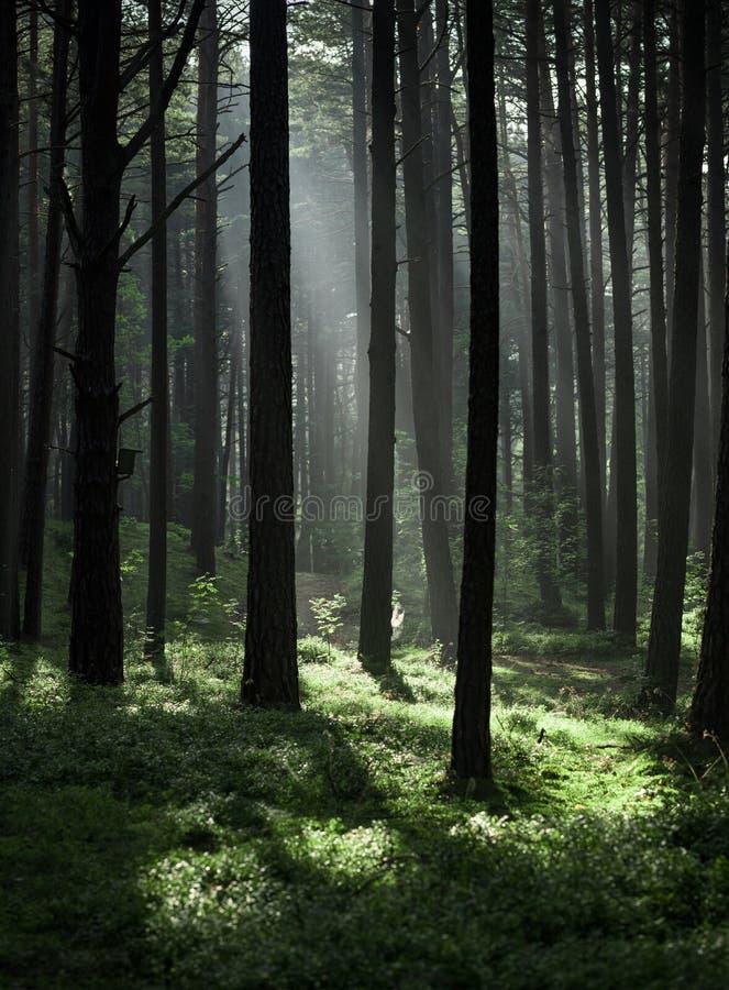 Kiefern-Wald in Litauen mit Morgen-Nebel im Hintergrund stockfotos