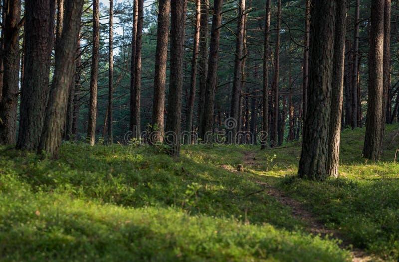 Kiefern-Wald in Litauen mit Morgen-Sonnenaufgang-Licht auf dem Trunksand-Moos aus den Grund lizenzfreie stockfotos
