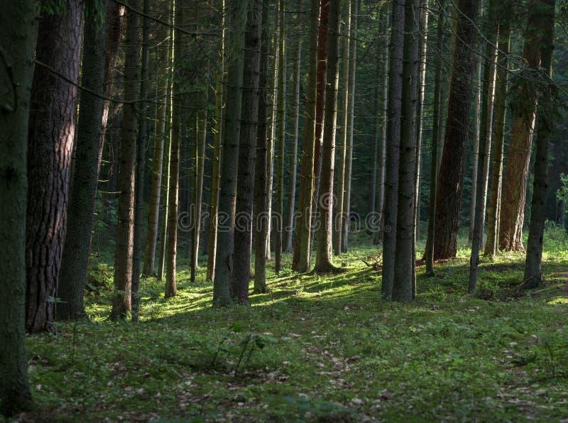 Kiefern-Wald in Litauen mit Morgen-Sonnenaufgang-Licht auf den Stämmen stockbilder