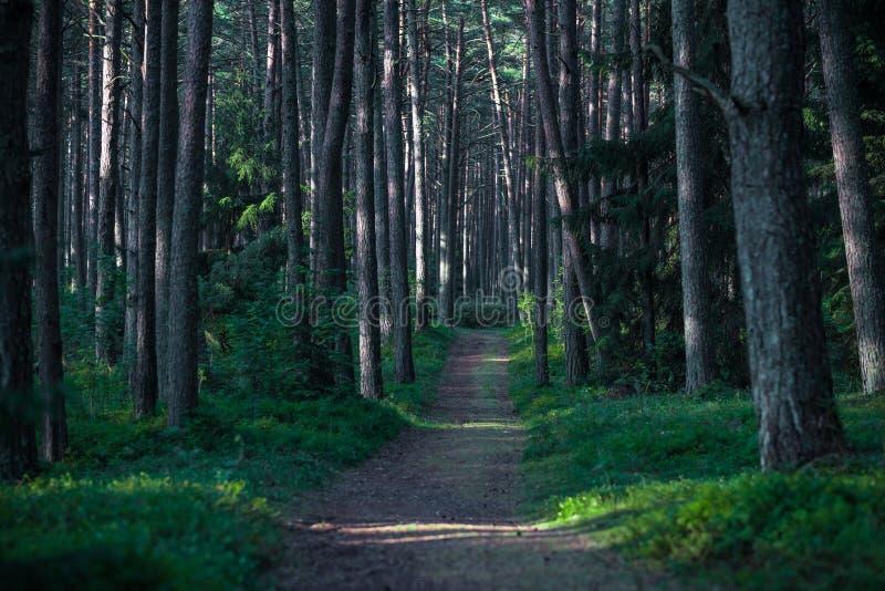Kiefern-Wald in Litauen mit Morgen-Sonnenaufgang-Licht auf den Stämmen und dem Weg stockfotos