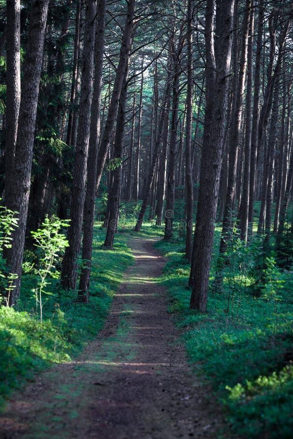 Kiefern-Wald in Litauen mit Morgen-Sonnenaufgang-Licht auf den Stämmen und dem Weg lizenzfreie stockbilder