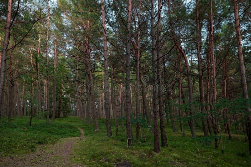 Kiefern-Wald in Litauen mit Weg lizenzfreie stockbilder
