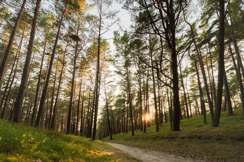 Kiefern-Wald in Litauen mit Weg und Sonnenuntergang beleuchten im Hintergrund lizenzfreie stockbilder