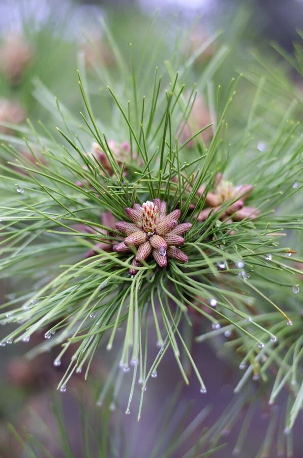 Kiefernblumen schließen oben Frühling, der im Waldkiefernblütenstaub blüht stockfoto