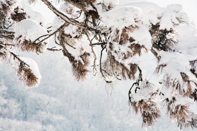 Kieferniederlassung in der schneebedeckten Landschaft stockfoto