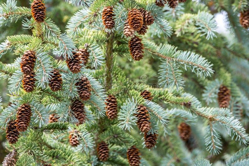 Kiefernkegel auf Baum stockfotografie