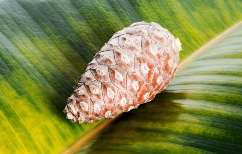 Kiefernkegel auf Ficusblatthintergrund lizenzfreies stockbild