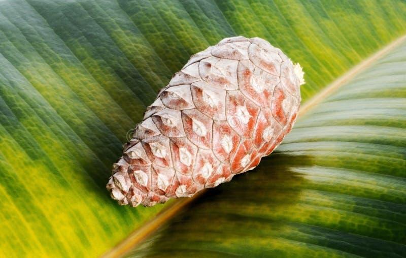 Kiefernkegel auf grünem Ficusblatthintergrund Makrofokusabschluß oben lizenzfreie stockbilder
