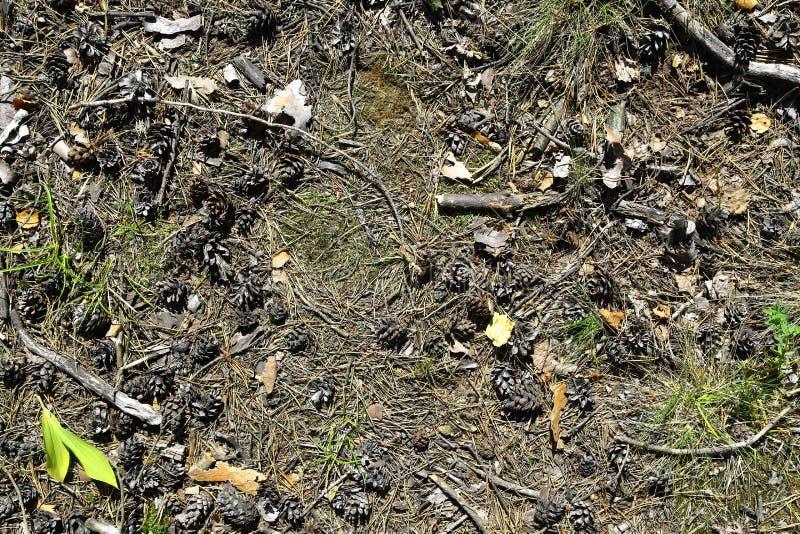Download Kiefernkegel Und -zweige Auf Dem Waldboden Stockbild - Bild von koniferen, schönheit: 96932275