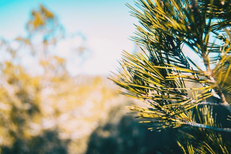 Kiefernnadeln in der Natur stockfotos