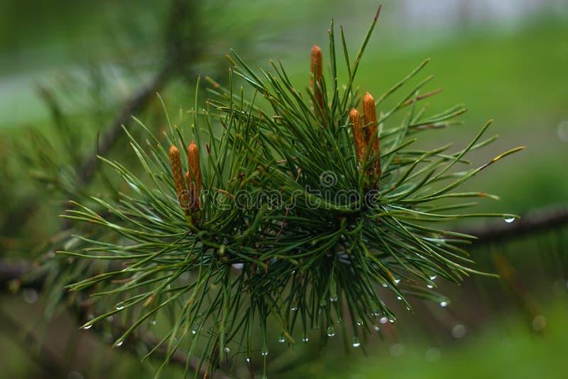 Kiefernniederlassung nach dem Regen Regentropfen auf gezierten Nadeln Grüne Kiefernniederlassungsnahaufnahme auf grünem natürlich lizenzfreies stockfoto