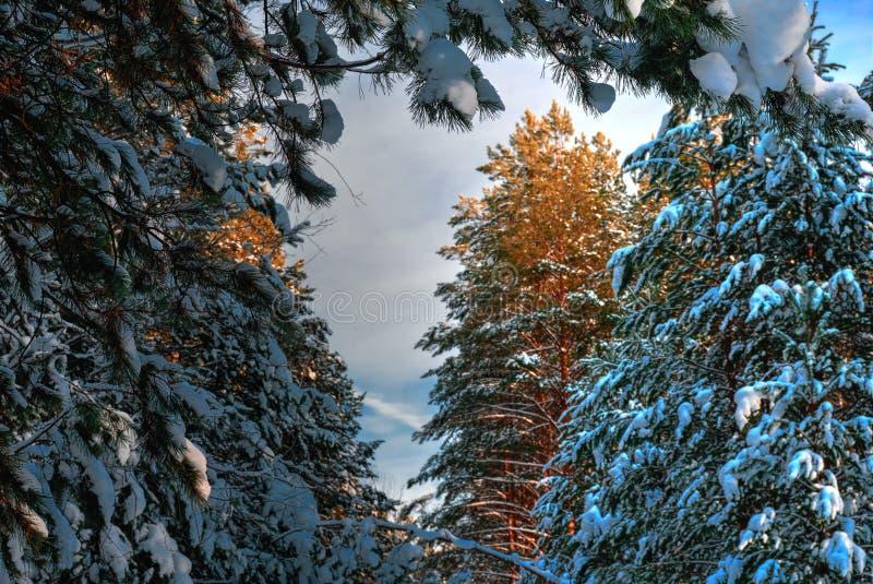 Kiefernniederlassung umfasst mit Schnee stockbilder