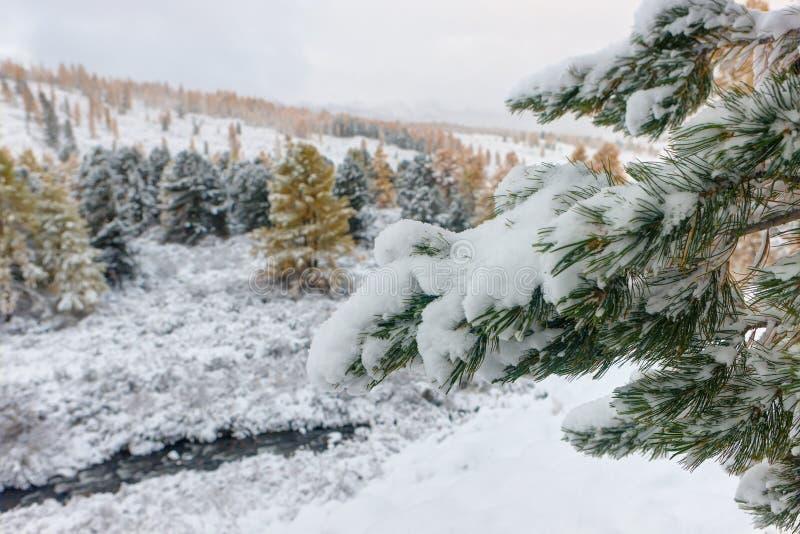 Kiefernniederlassungen nach Schneefällen lizenzfreies stockbild