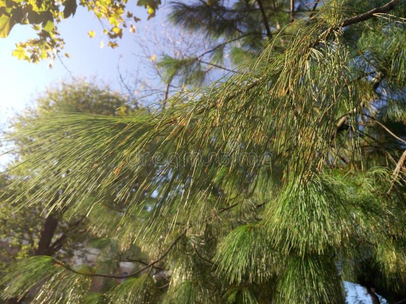 Kiefernniederlassungen und -nadeln im Koniferentannenbaum im Sommerwaldabschluß oben lizenzfreie stockfotos