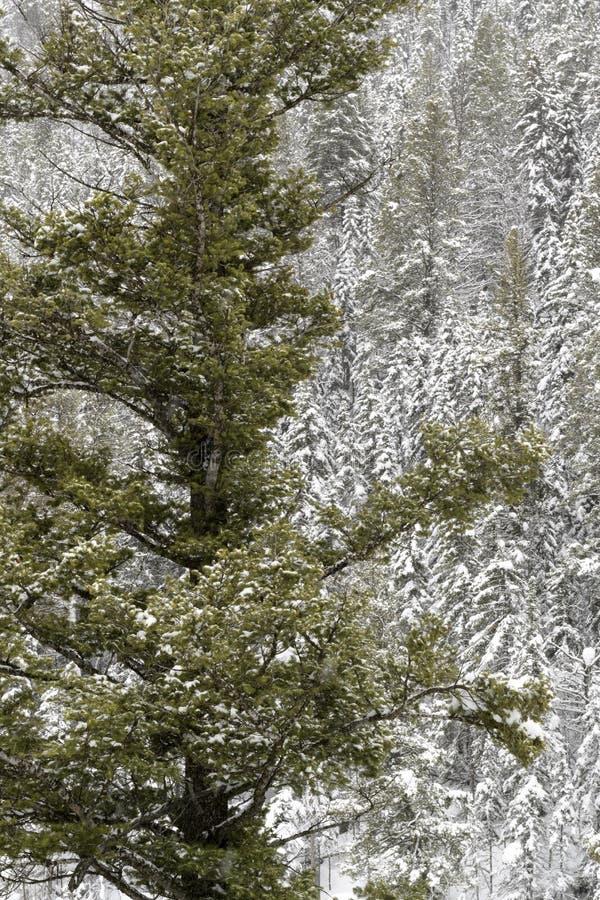 Kiefernwald in fallendem Schnee stockbilder